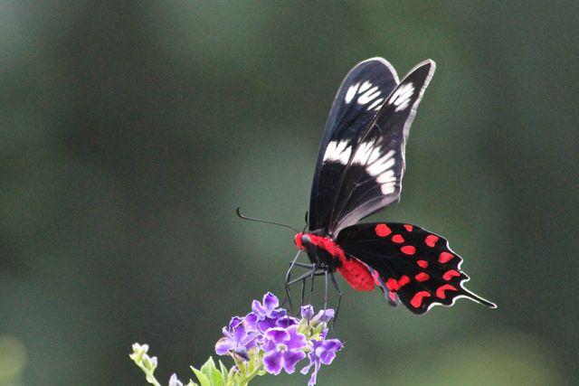 Butterflies in the pool garden