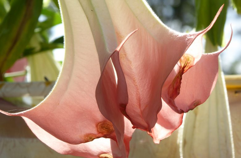 Close-up of trumpet flower