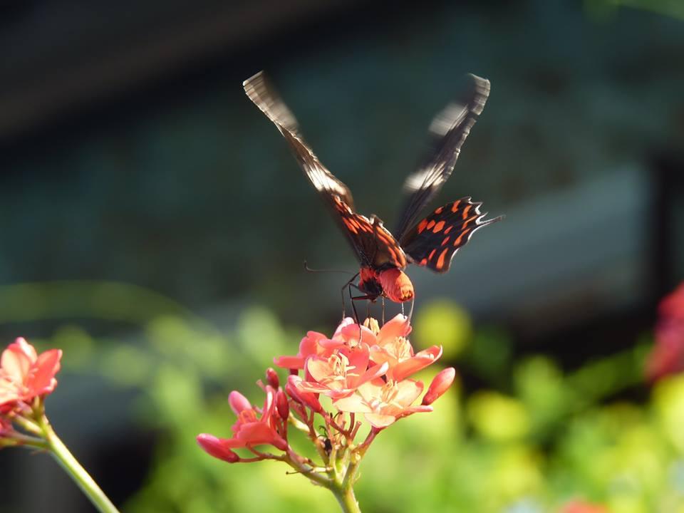 Butterfly fluttering