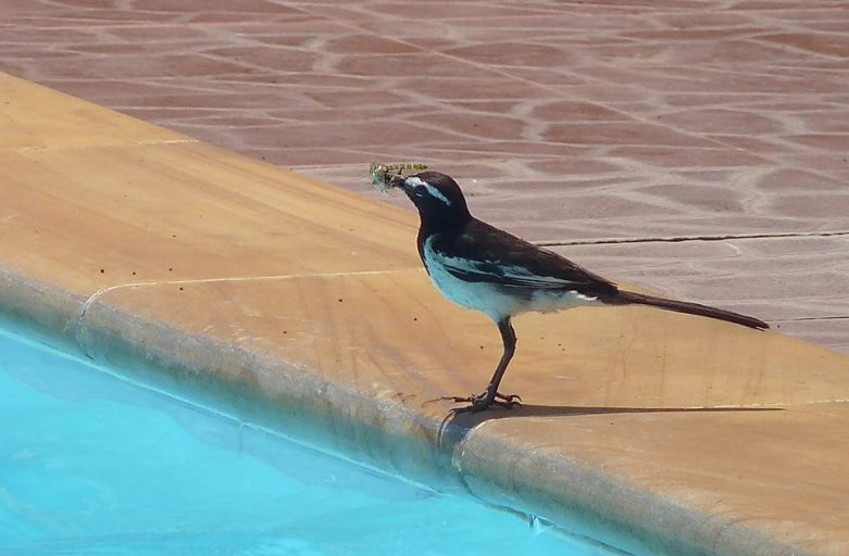Wagtail at the Pool