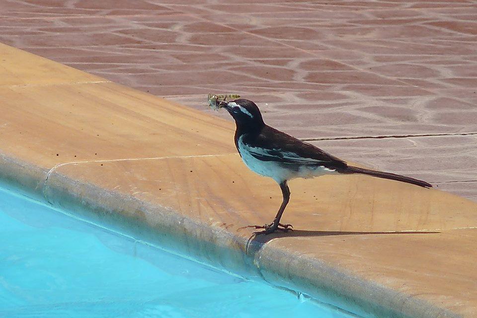 Wagtail at the Pool