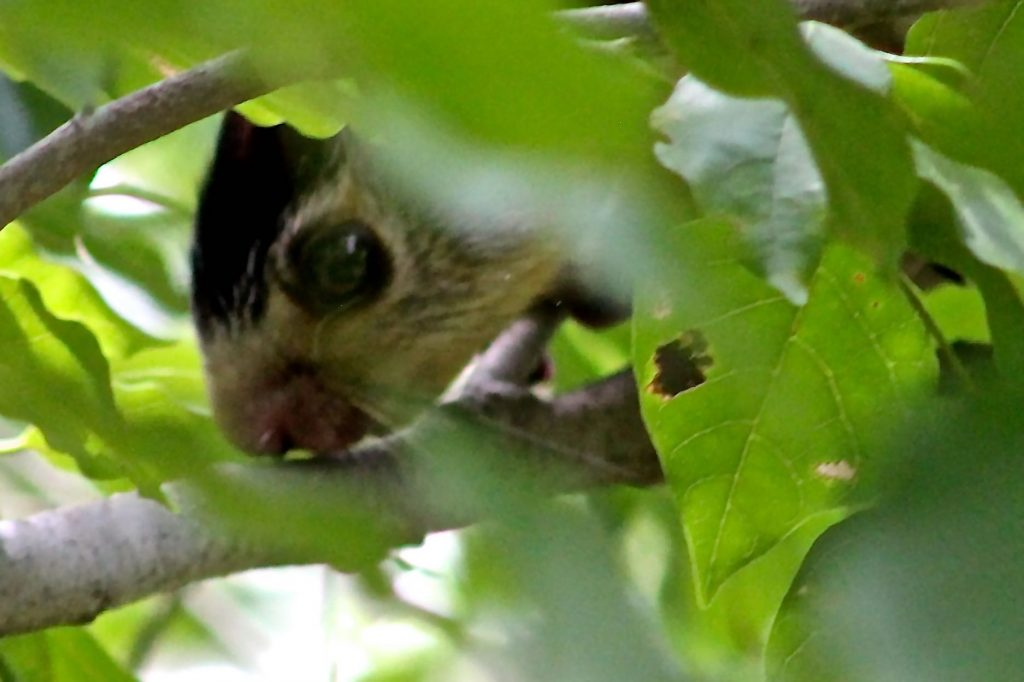Close-up of head of squirrel in tree